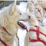 Expédition en traîneau à chiens