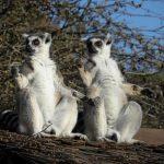 Rencontres les lémuriens de Madagascar !
